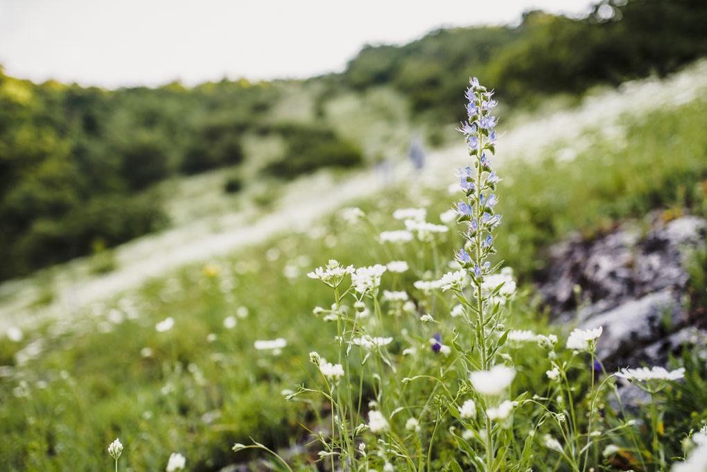 Květiny-na-loukách-na-Pálavě-pod-zriceninou-hradu-devicky