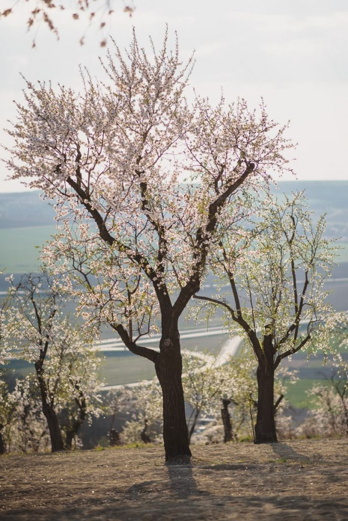 kvetouci-mandlone-hustopece