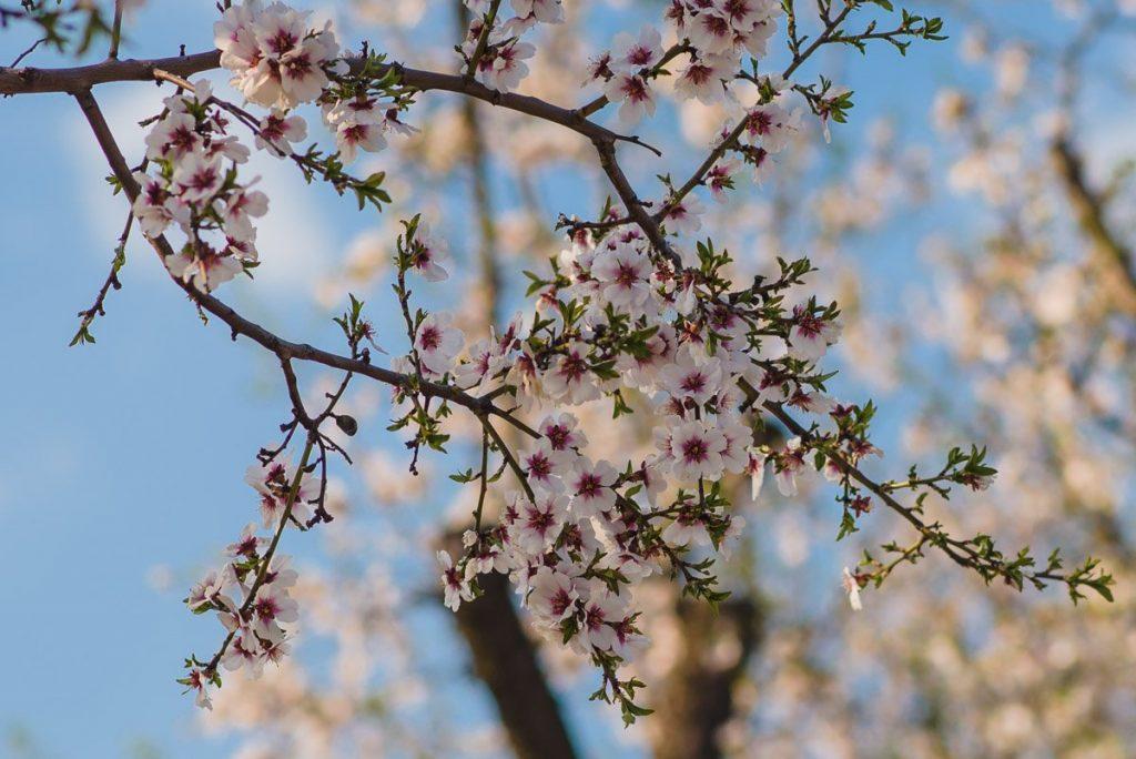 slavnosti-kvetoucich-mandloni-hustopece-sad